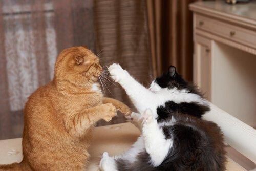 Kedi Kavgası Hakkında Bilmeniz Gerekenler