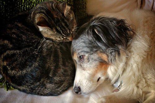 Kedi ve Köpeklerde Yanıkları İyileştirmenin 3 Adımı