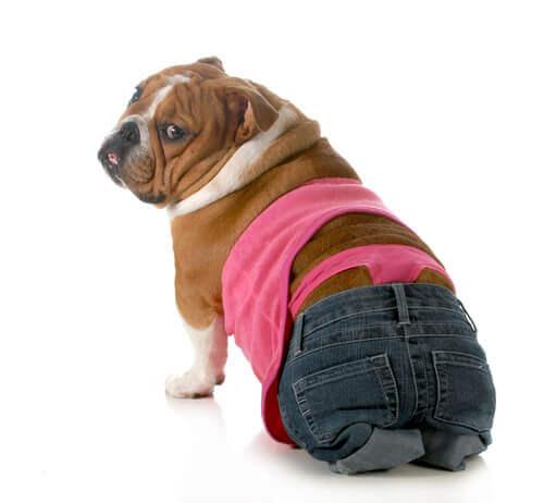 kıyafet giydirilmiş köpek