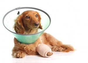 köpeğe baslık takılmış