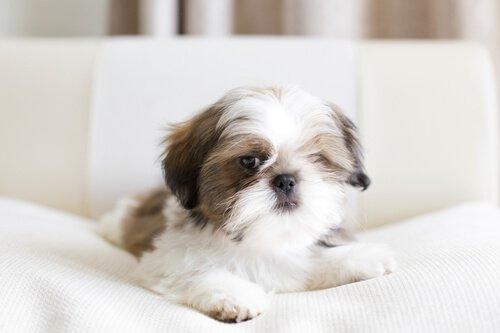shih tzu ve diğer küçük evlere uygun köpekler