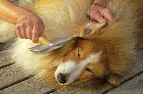 köpeğinizin kürkünü güzelleştirmek ve korumak
