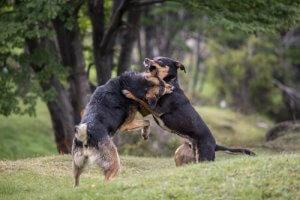 köpekler çayırda kavga ediyor