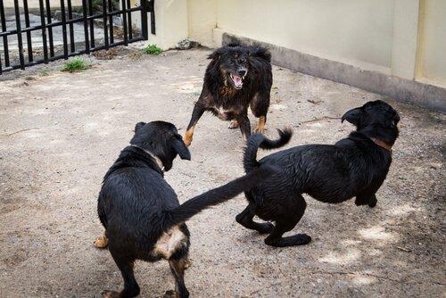 İspanyol Polisi 230 Köpeği Köpek Dövüşünden Kurtardı