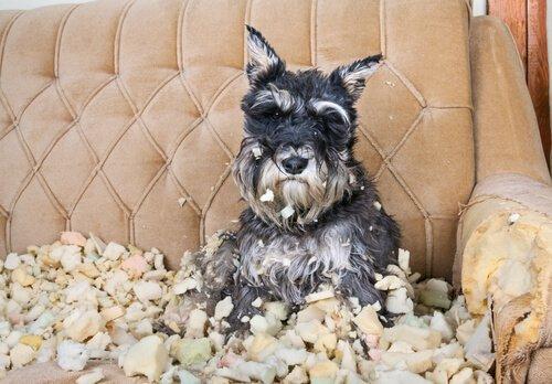 stresli köpeklerin yıkıcı davranışları