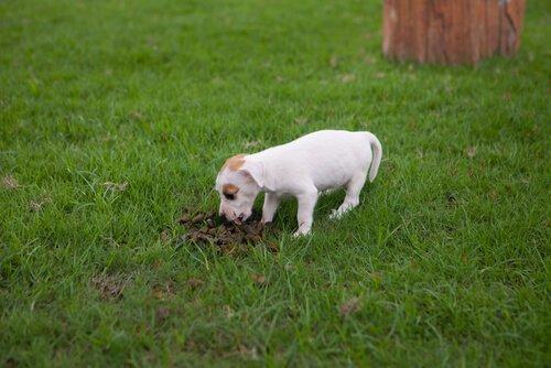 Köpeklerde Dışkı Yeme Rahatsızlığının Tedavisi
