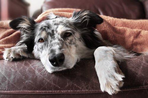 Köpeklerde İshali Durdurmak İçin 10 Adım