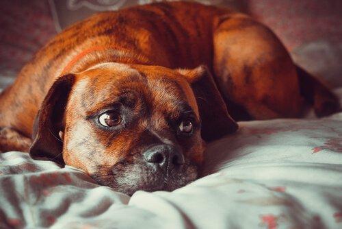 fırtına korkusu olan köpek