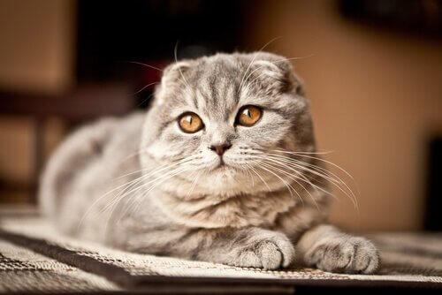kulaksız Scottish fold kedi türü ve egzotik kedi türleri