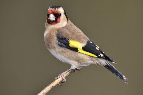 En Çok Şakıyan Evcil Kuş Türleri