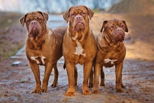 üç iri Fransız mastiff köpek ve molosser