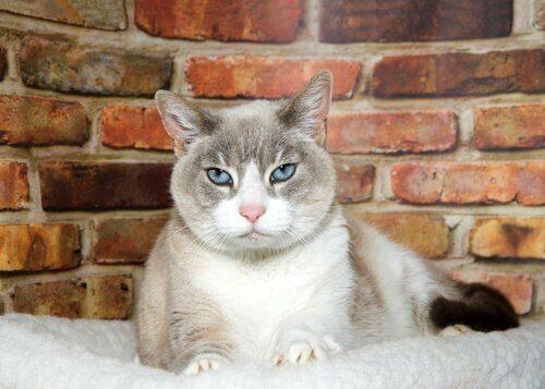 Kedilerde Yaşlılık Bunaması Ne Anlama Geliyor?