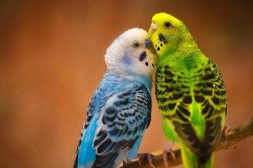 Muhabbet Kuşları ile İlgili 5 Büyüleyici Gerçek