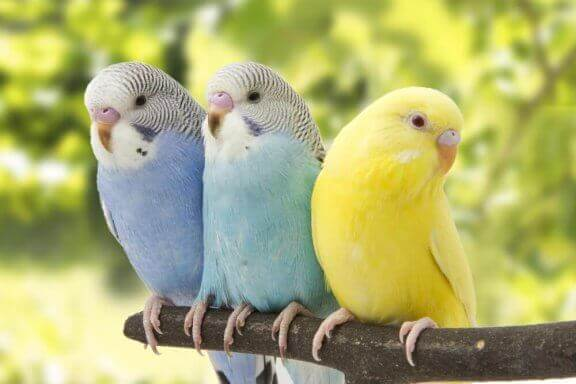 muhabbet kuşları hakkında ilginç gerçekler