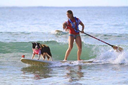 noosa sörf festivalinde sahibiyle sörf yapan köpek