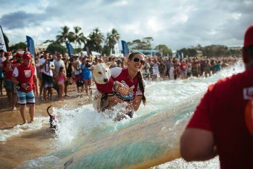 noosa sörf yarışmasında yarışan köpek