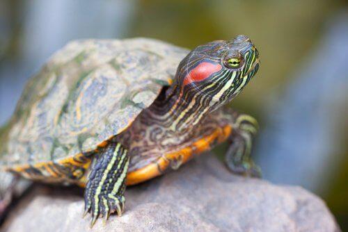 renkli kaplumbağa ve kaplumbağanın yaşı