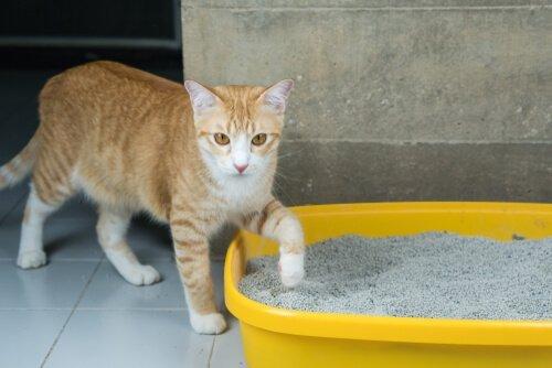 kum kabına yaklaşan sarı kedi