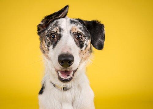 sarı köpek projesi nedir