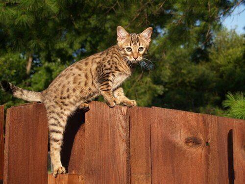 savan kedisi çitlerin üstünden atlamaya çalışıyor