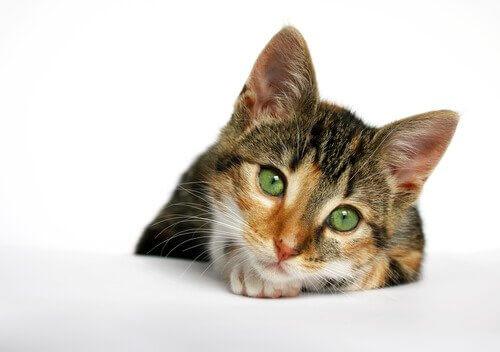yeşil gözlü sevimli kedi