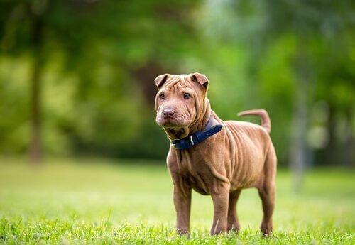 kırışık shar pei köpeği