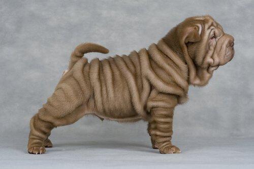 Shar Pei Köpeklerinin Neden Bu Kadar Çok Kırışıklığı Var?