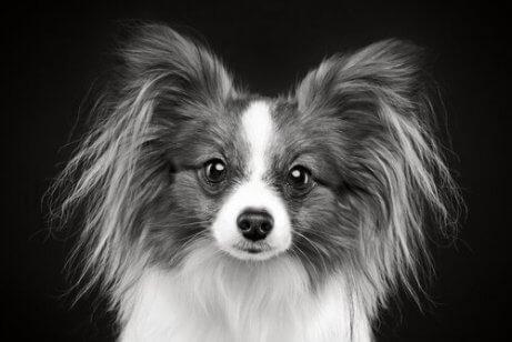 genç köpeklerin tüylerinde beyazlama