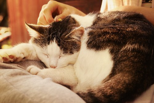 kucakta uyuyan iki renkli kedi ve kedilerde yaşlılık bunaması