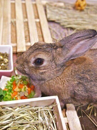 evcil hayvan olarak evde tavşan beslemek