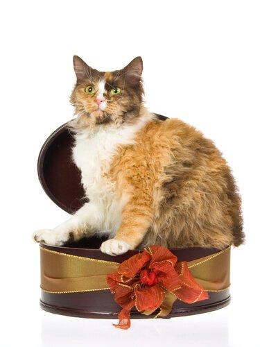 tüylü ve kalın kuyruklu LaPerm kedi türü