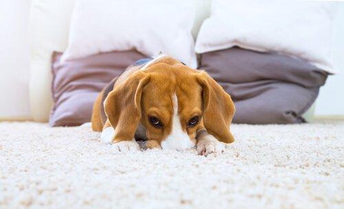 utangaç köpek