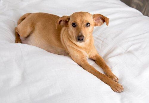 yatakta uzanan köpek