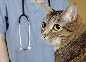 kedileri veteriner kontrolüne götürmek
