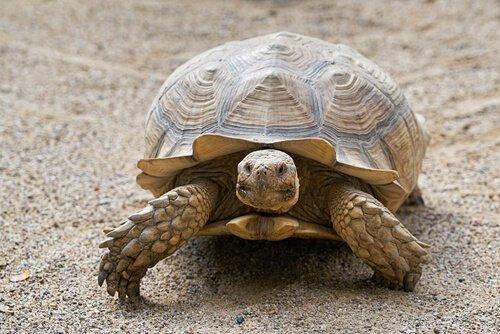 Kaplumbağaların Yaşı Nasıl Hesaplanır?