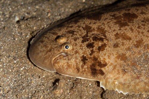 Yassı Balık Türleri: Benekli Pisi ve Bayağı Dil Balığı