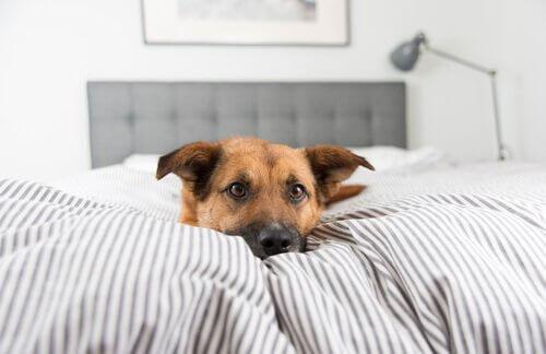 Köpeğim Neden Kendi Yatağında Uyumak İstemiyor?