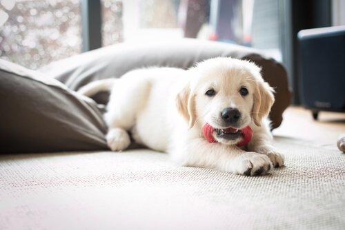 Yavru Köpeğinizi Evde Güvenli Bir Şekilde Bırakmak