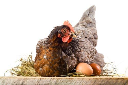 yumurtlamış tavuk