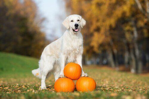 Köpekler İçin Bal Kabağının Faydaları