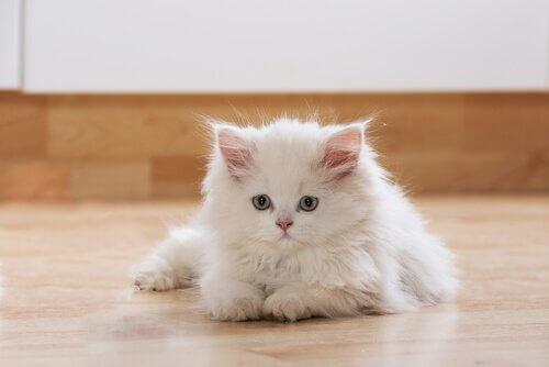 beyaz yavru kedilerin tüy renkleri