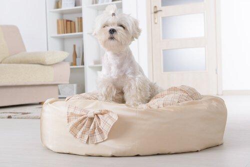 beyaz tüylü köpek ev