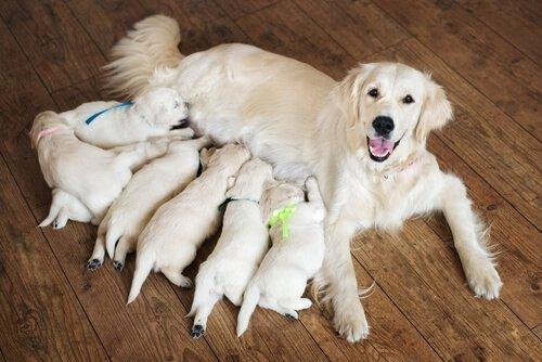 Bir Köpeğin Doğum Yapmasına Nasıl Yardım Edilir?