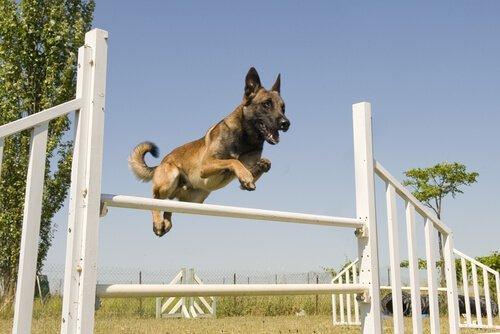 köpek sporları çeviklik