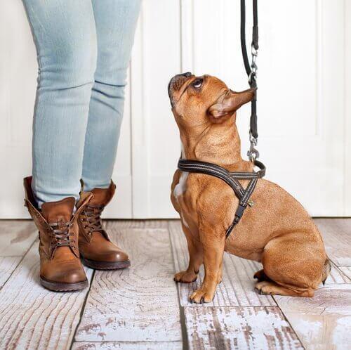 sahibine bakan tasmalı köpek