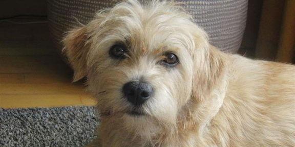 Dutch Smoushond: Az Bilinen Arkadaş Canlısı Köpekler