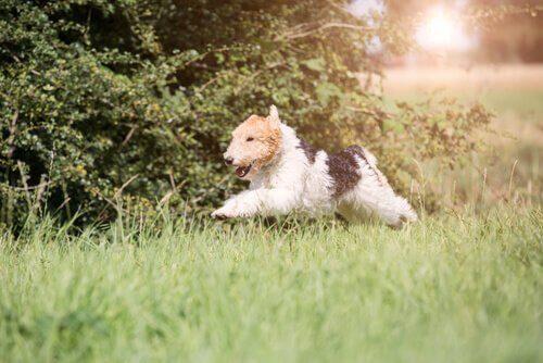 fox terrier köpek koşturuyor