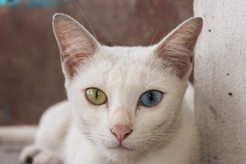 gözleri farklı renklerde kedi