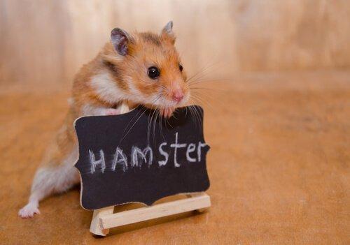 Küçük Ama Yırtıcı: Bir Hamster Nasıl Evcilleştirilir?