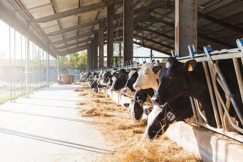çiftlikte büyük baş hayvanlar